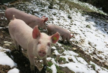 Small is beautiful. Für eine Schweiz ohne Tierfabriken